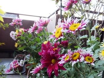 636-1-5 復活した菊の花.JPG